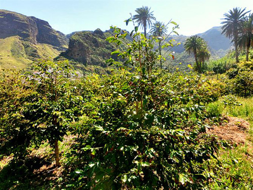cafe-agaete-pflanzen